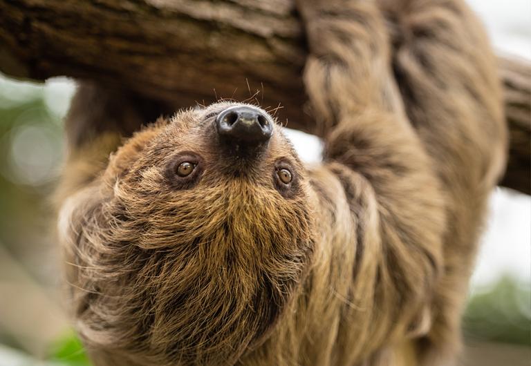 Faultier im Zoo Hoyerswerda
