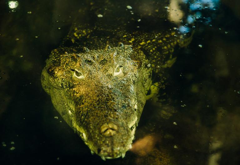 Kuba Krokodil im Zoo Hoyerswerda