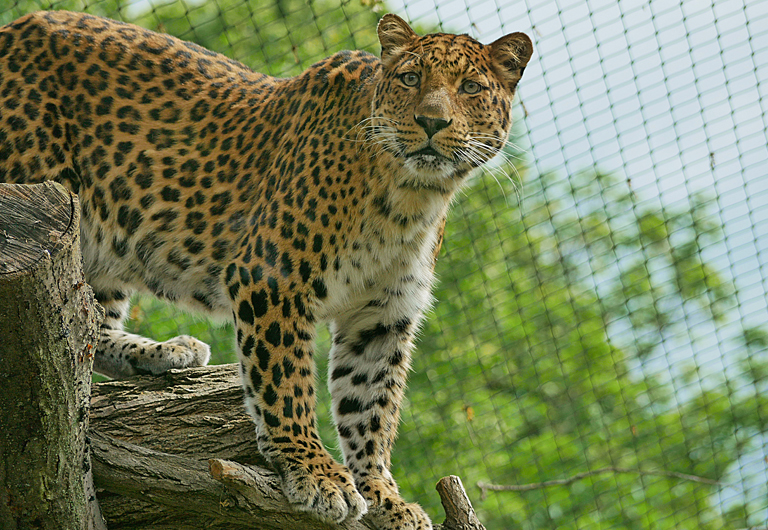 China Leopard